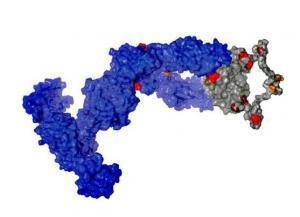 Aktuelles: Haifisch-Antikörper inspirieren Optimierung menschlicher Antikörper
