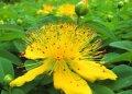 Ratgeber: Arzneipflanze 2015 - Johanniskraut - der sanfte Stimmungsaufheller